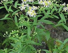 Flat Topped Aster