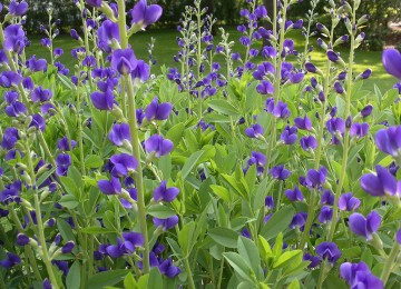 Blue False Indigo