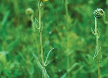 Downy Sunflower