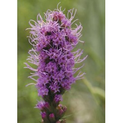 Spiked Blazing Star