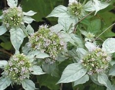 Hoary Mountain Mint