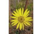 Prairie Rosinweed