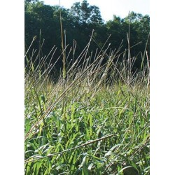 Eastern Gamma Grass var. Highlander
