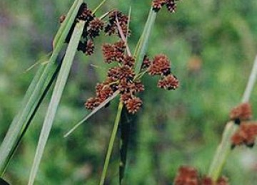 Green Bulrush