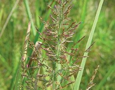 Red Top Panicum