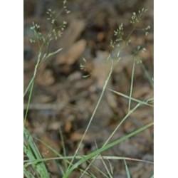 Upland Bent Grass