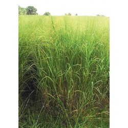 Switchgrass var.-Cave-in-Rock