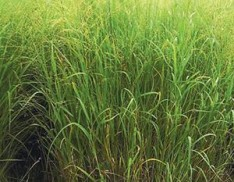 Switchgrass var.- Kanlow