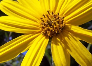 Narrow-Leaved Sunflower
