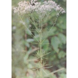 Lanceleaf Thoroughwort