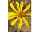 Starry Silphium