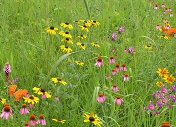 Wildflower Garden and Landscaping Mix