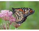 Mix NS-MM1 - Northern Monarch Milkweed Seed Mix