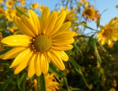 Sawtoothed Sunflower (Helianthus grosseserratus)