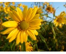 Sawtoothed Sunflower