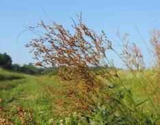 Bog Rush (Juncus biflorus)