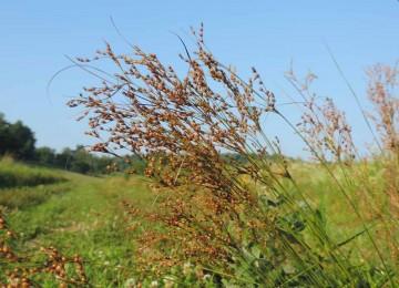 Greater Poverty Rush (Juncus anthelatus)