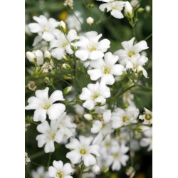 Baby's Breath (Gypsophila elegans)