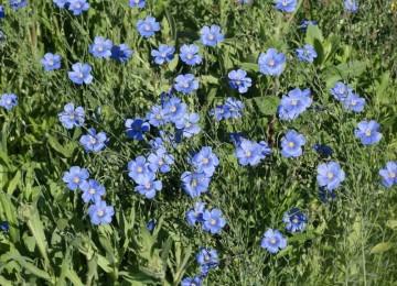 Blue Flax (Linum perenne)