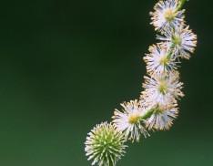 Eastern Bur Reed (Sparganium americanum)