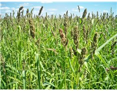 Brown Top Millet