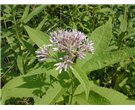 Sweet Joe-Pye Weed