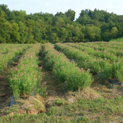 Cultivar Production Alamo Switchgrass