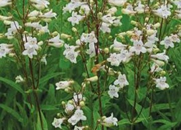 Smooth Beardtongue