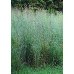 Big Bluestem