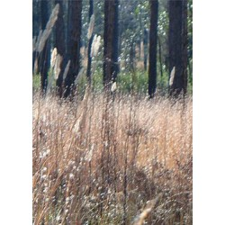 Splitbeard Bluestem