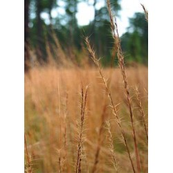 Wiregrass