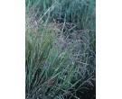 Fowl Manna Grass