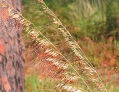 Lopsided Indian Grass
