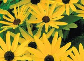 Sweet Blackeyed Susan