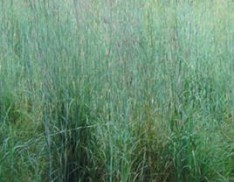Big Bluestem var. Kaw
