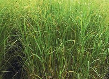 Switchgrass var.-Blackwell
