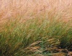 Indian Grass var.- Cheyenne