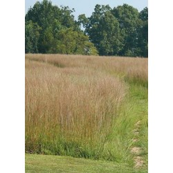 Little Bluestem var.- Cimarron