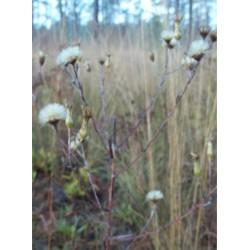 Narrowleaf Silkgrass