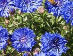 Tall Blue Cornflower