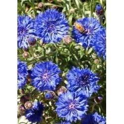 Tall Blue Cornflower