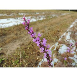 Fewflower Blazing Star
