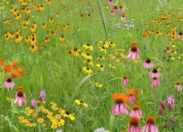 Short Grass Meadow Mix