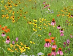 Short Grass Meadow Mix