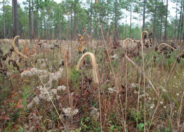 Long Leaf Pine Understory Mix