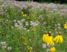 Annual and Perennial Native and Garden Wildflower Mix