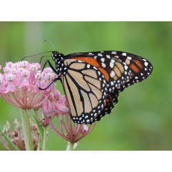 Mix SS-MM1 - Southern Monarch Milkweed Seed Mix