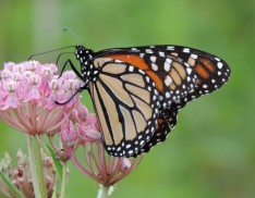 Monarch Milkweed Seed Mix SS-MM1