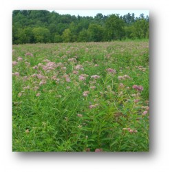 Mix NS-MH1 - Northern Monarch Habitat Seed Mix