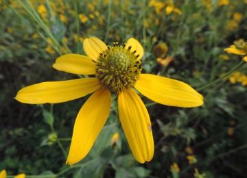 Cutleaf Coneflower (Rudbeckia laciniata)